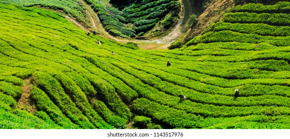 Tea Farm at Cameron Highlands