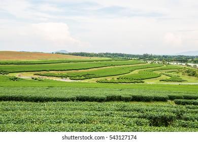 Tea farm with lake in Thai, Thailand.
