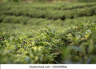 Tea farm , tea leaves, shallow focus, Tea farm, Ilam, Nepal