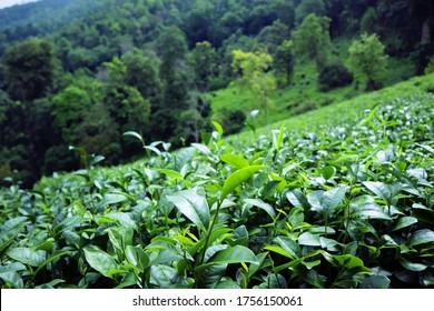 Tea Farm. Lung Dech Tea Farm at Chiang Mai, Thailand. ORGANIC GREEN TEA.