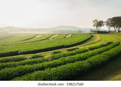 tea farm in the morning