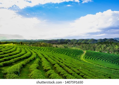 Tea farm in the morning  : Beautiful tea farm in the morning sunrise at Mae Chan,Chiangrai province.