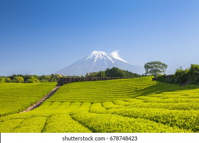 Tea farm and Mount Fuji in spring at Shizuoka prefecture
