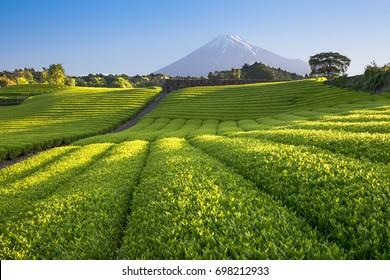 Tea farm and Mount Fuji in spring at Shizuoka prefecture