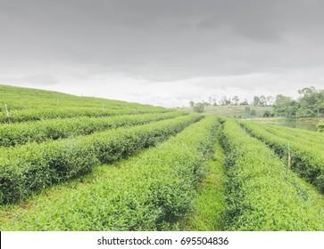 Tea farm in North Thailand, South East Asia.