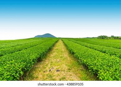 Tea farm on the hill in a clear day, tea plantation on Jeju Island.