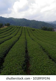 tea farm outdoor thailand