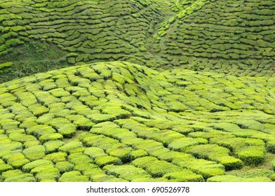 tea farm with sunlight at Cameron Highlands, Malaysia