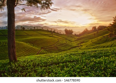 Tea farm and sunrise in hdr