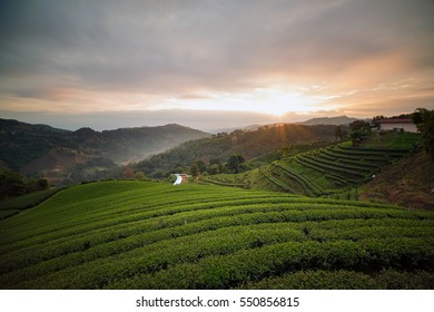 Tea farm and sunrise sky, curves of tea plant on a high hill in northern of Thailand