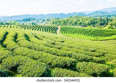 Tea Farm in Thai, Thailand.