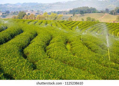 Tea field on big mountain with blue sky on sunshine in holiday. the nature with tea field which feeling good in holiday. the tea is healthy herb and popular to drink everyday.