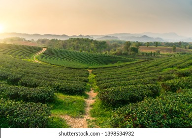Tea field or Tea plantation farm in Chiang Rai,north of Thailand.
