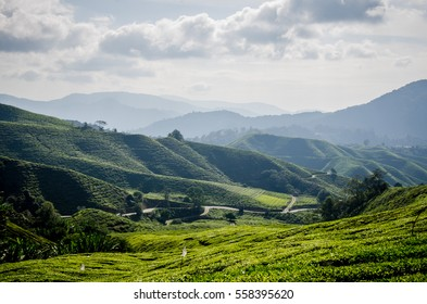 Tea fields
