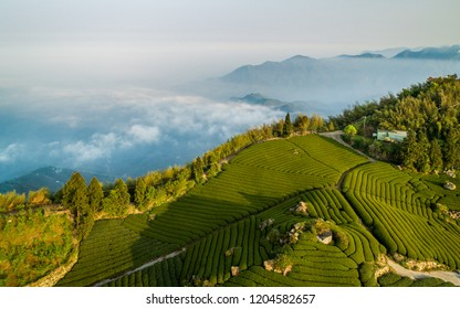 Tea Fields in Alishan - Taiwan