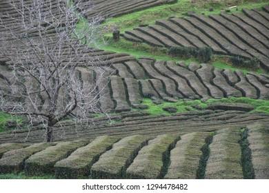 Tea fields Cha Gorreana, Azores, Portugal