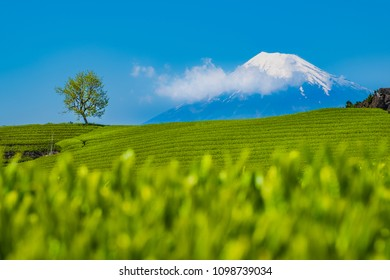 Tea Fields with Fuji Mountain background in clear sky day at Shizuoka, Japan