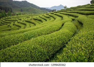 Tea Fields on a Mountain in Wuyishan, Fujian Province, China