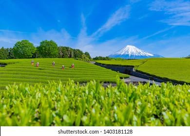"Tea fields in Oobuchi sasaba, Fuji City, Shizuoka Prefecture. Translation text:""Green tea of Oobuchi"""