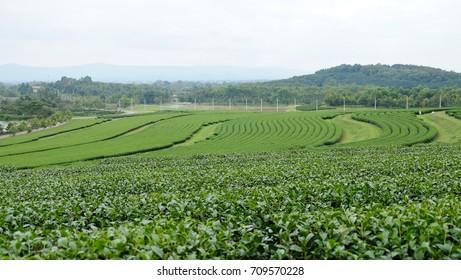 tea fields, Singha Park, Chiang Rai, thailand