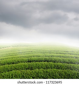 Tea fields and Sun Sky for background