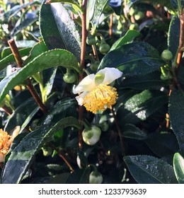 Tea flower on a sunny morning in Alishan mountain. Best Tea in Taiwan is from Alishan!