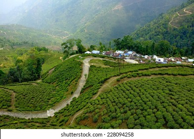 Tea garden in Darjeeling, India