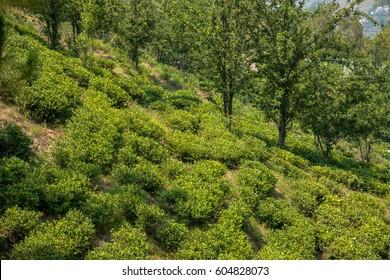 Tea garden at Kasauli, Uttarakhand