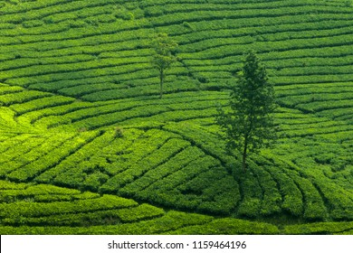 Tea Garden Landscape at Puncak, Bogor, Central Java, Indonesia.