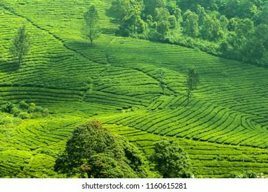 Tea Garden Landscape at Puncak Bogor. Fresh green view of tea plantation in daytime.