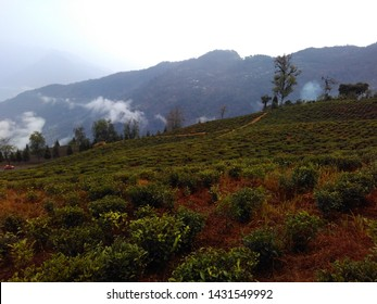 Tea garden on slope of a hill