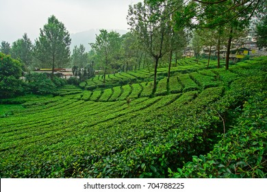 Tea garden at the peak, bogor, indonesia