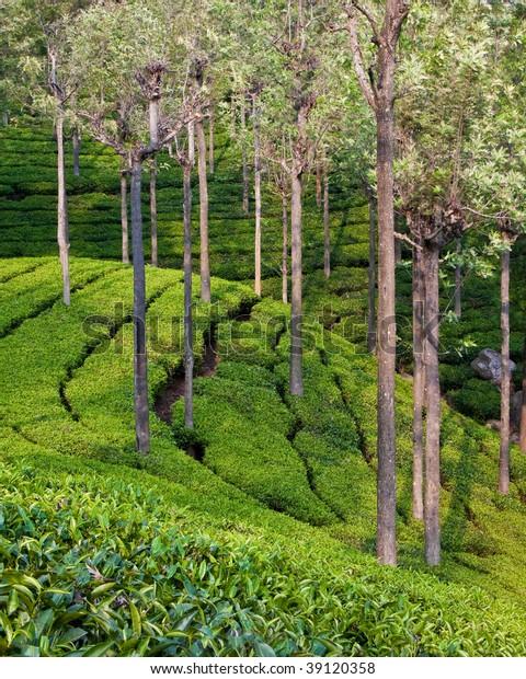 Tea Garden Trees Tamil Nadu India Stock Photo (Edit Now) 39120358