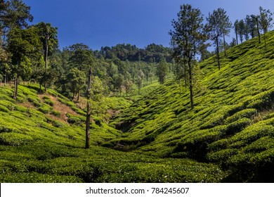 Tea Gardens or estate at Ooty