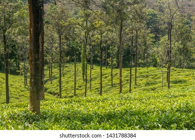 tea gardens or tea estates at ooty hill station with beautiful clouds