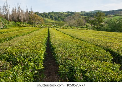 Tea growing. Tea fields on the island of Sao Miguel, Azores
