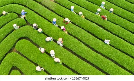 Tea harvest season at the Moc Chau plateau, Son La, Vietnam.