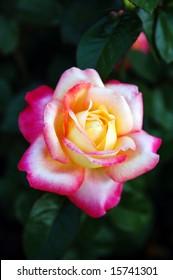 Tea Hybrid Rose