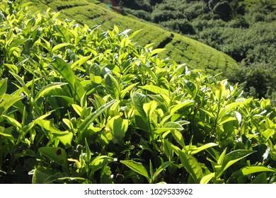 tea leaf grow