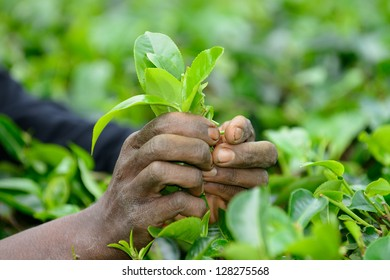 Tea leaf in his hand. Rough hands . Photo close-up of the hands and tea leaf