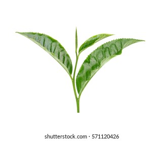 tea leaf isolated on white background