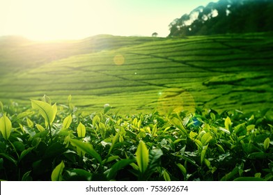 tea leaf with landscape morning background