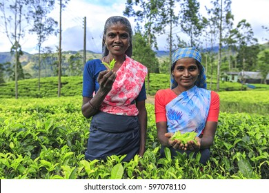 Tea leaf pickers. Tea plantation, Sri Lanka.