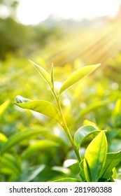 Tea leaf with the sunshine