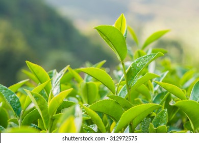 Tea leave in the field