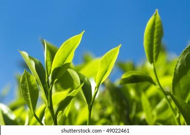 Tea Leaves. Close up tea leaves with morning sunlight, Cameron Highland Malaysia.