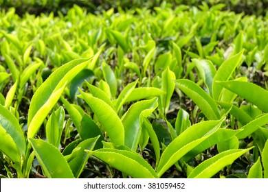 Tea Leaves in the Tea Plantation - Cameron Highlands, Malaysia