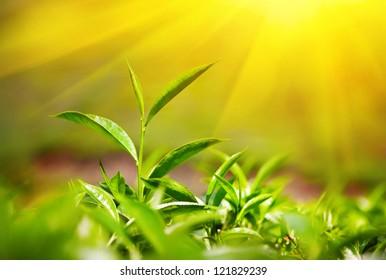 Tea leaves at tea plantation in Munnar, Kerala, India