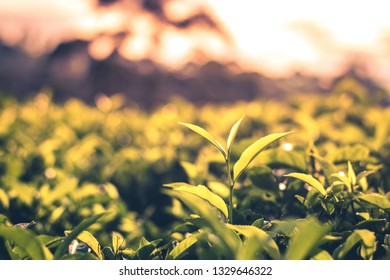 Tea leaves and plantation in upcountry Sri Lanka