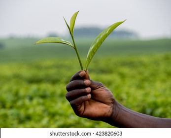 tea leaves shown by an African